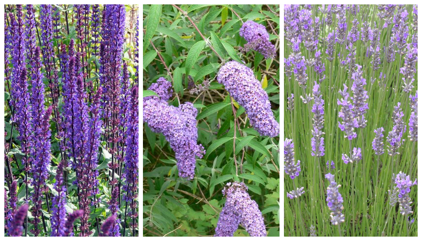 salvia nemorosa vlinderplant lavendel